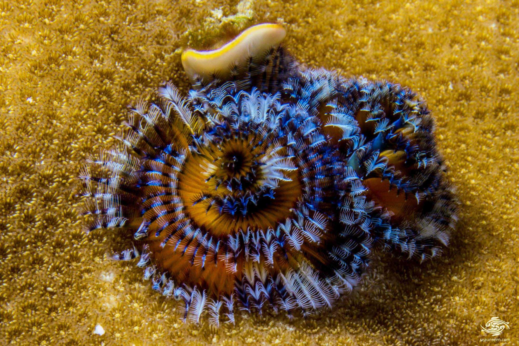 Spirobranchus giganteus 1