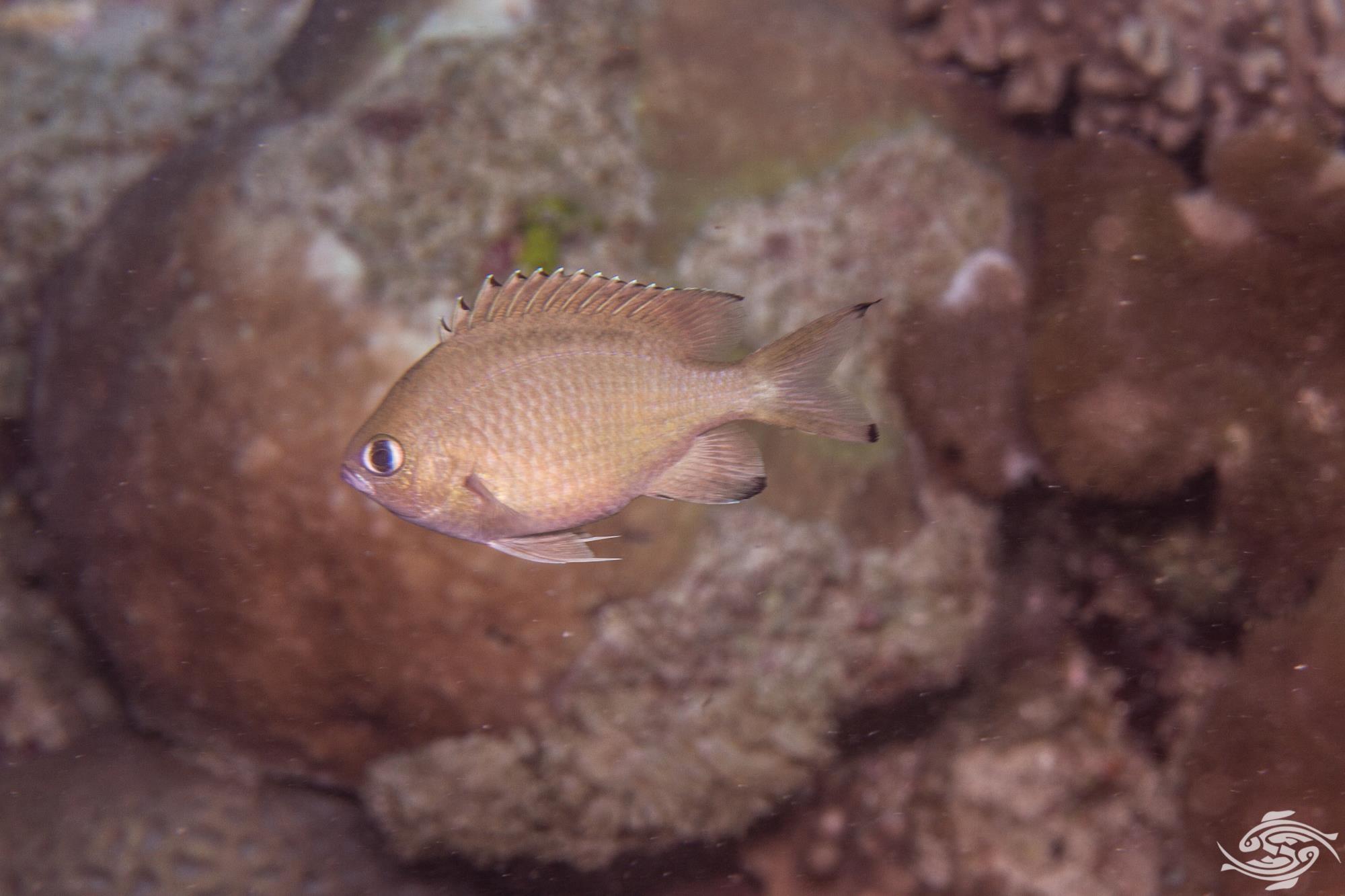 Scaly chromis (Chromis lepidolepis) is also known as the Brown Chromis