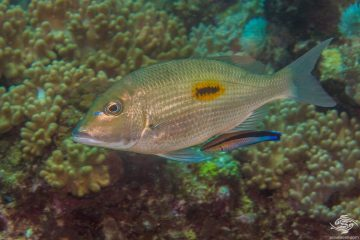 Thumbprint Emperor (Lethrinus harak) is also known as the Blackspot emperor