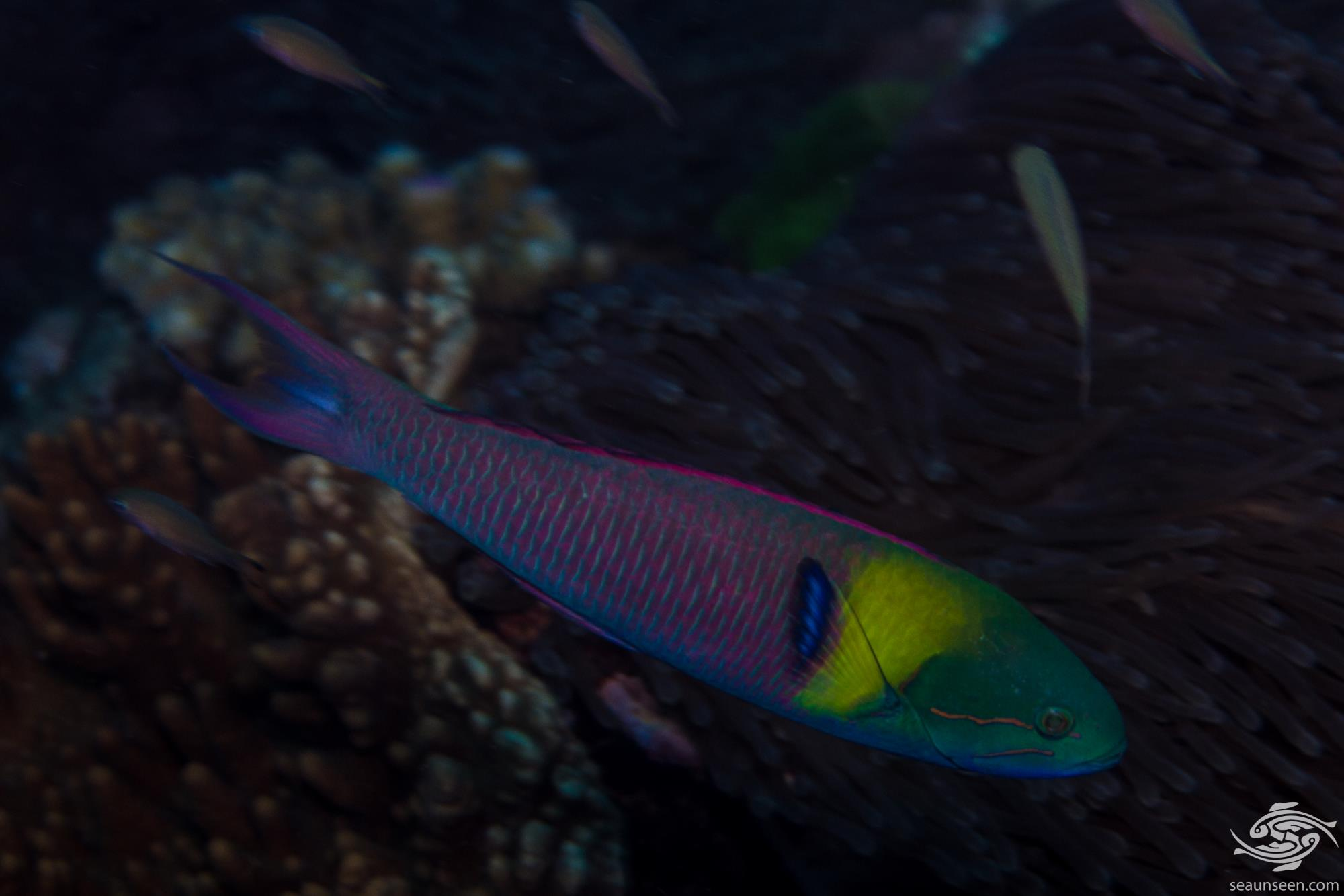 Bluntheaded Wrasse (Thalassoma amblycephalum) also known as the Blueheaded wrasse