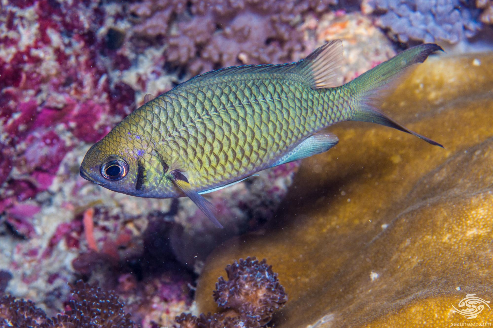 Weber's Chromis ( Chromis weberi) also known as the Dark Bar Chromis