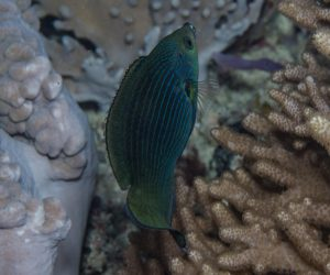 Tubelip wrasse (Labrichthys unilineatus) also known as the Tube-mouth Wrasse and the One-lined Wrasse
