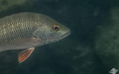 Red Snapper (Lutjanus bohar) is also known as the Twinspot Snapper, the Two-spot Red snapper and the Bohar Snapper