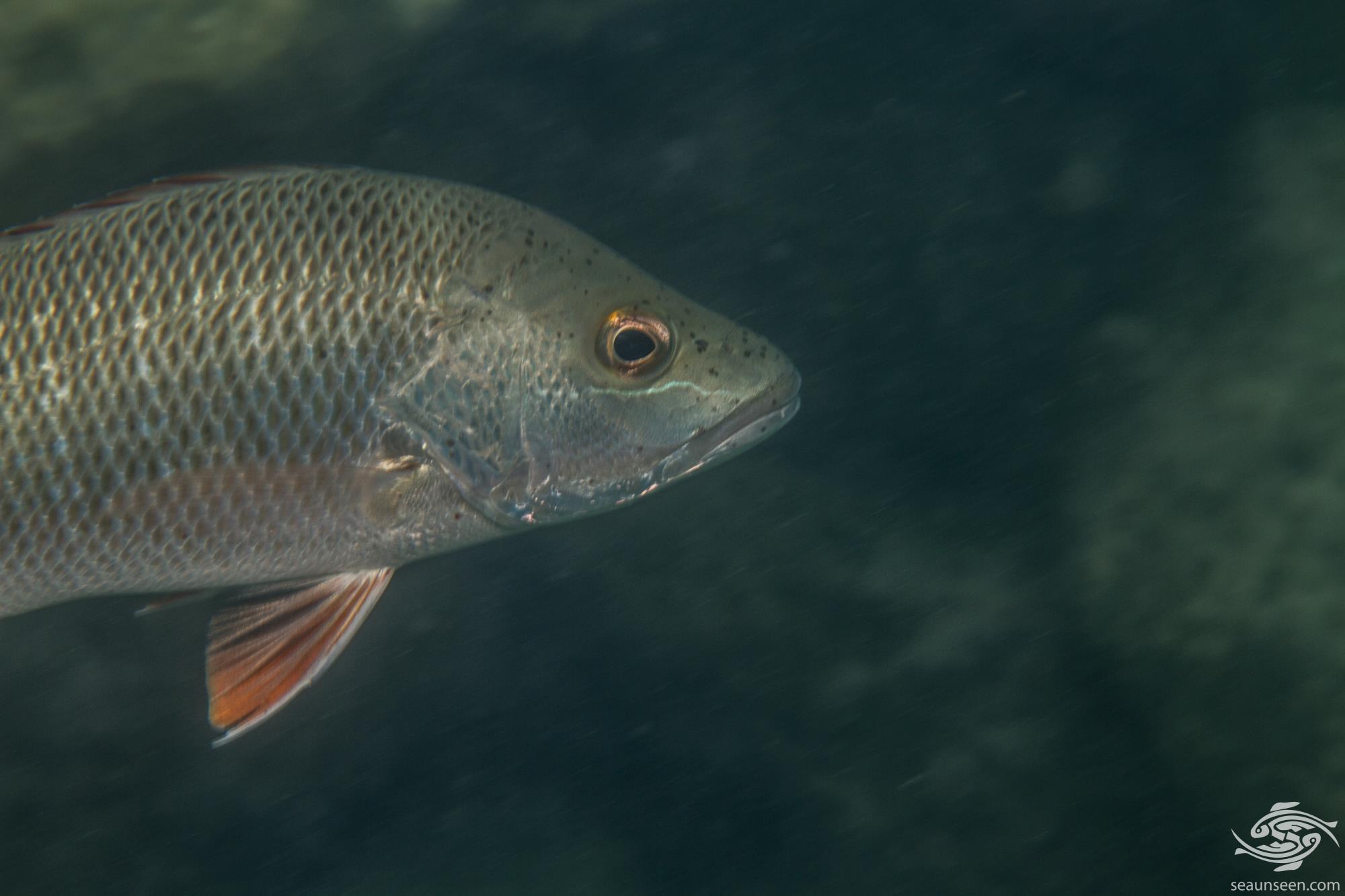 Red Snapper (Lutjanus bohar) is also known as the Twinspot Snapper, the Two-spot Red snapper and the Bohar Snapper