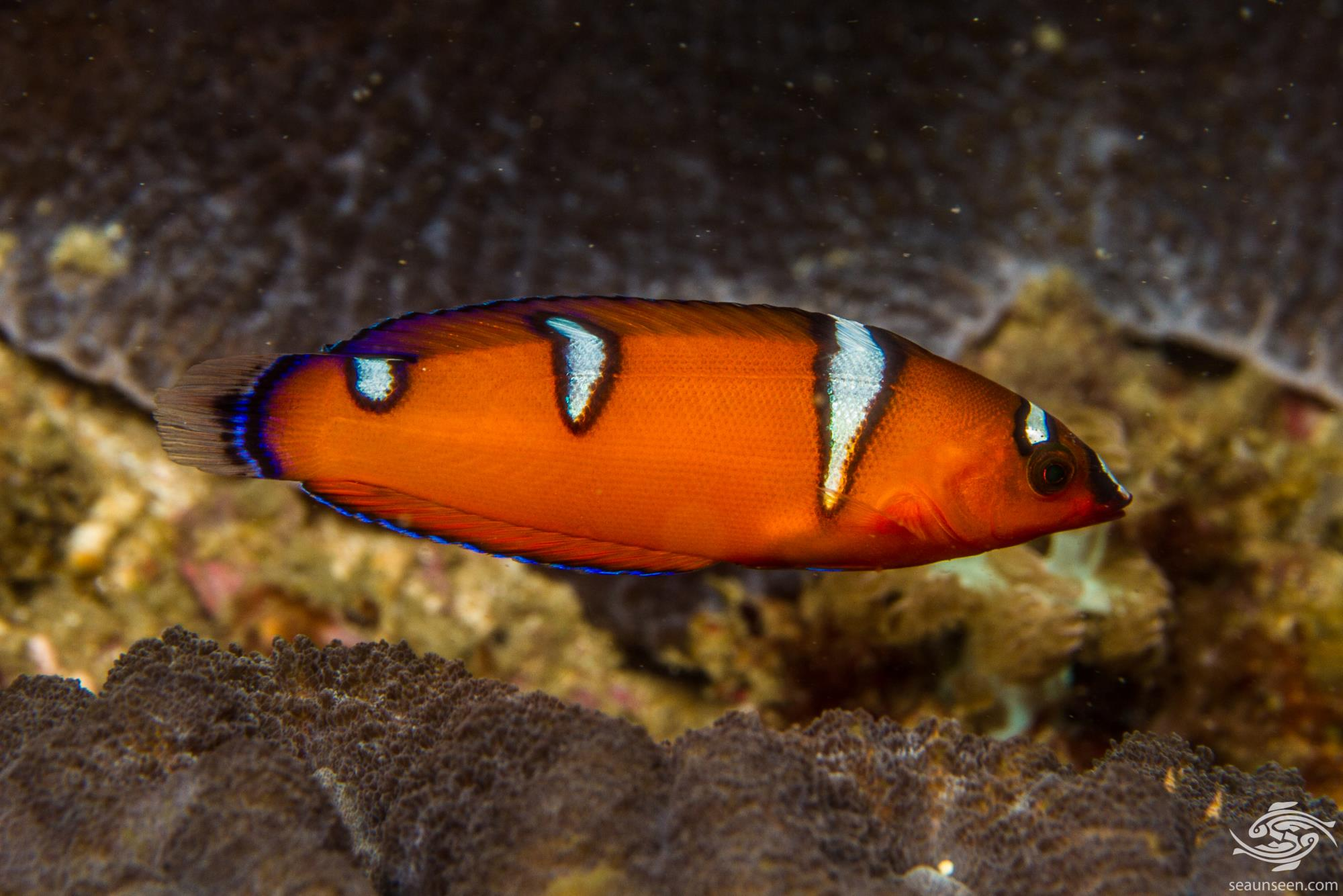 African Wrasse also known as the African Coris and False Clown wrasse (Coris cuvieri)