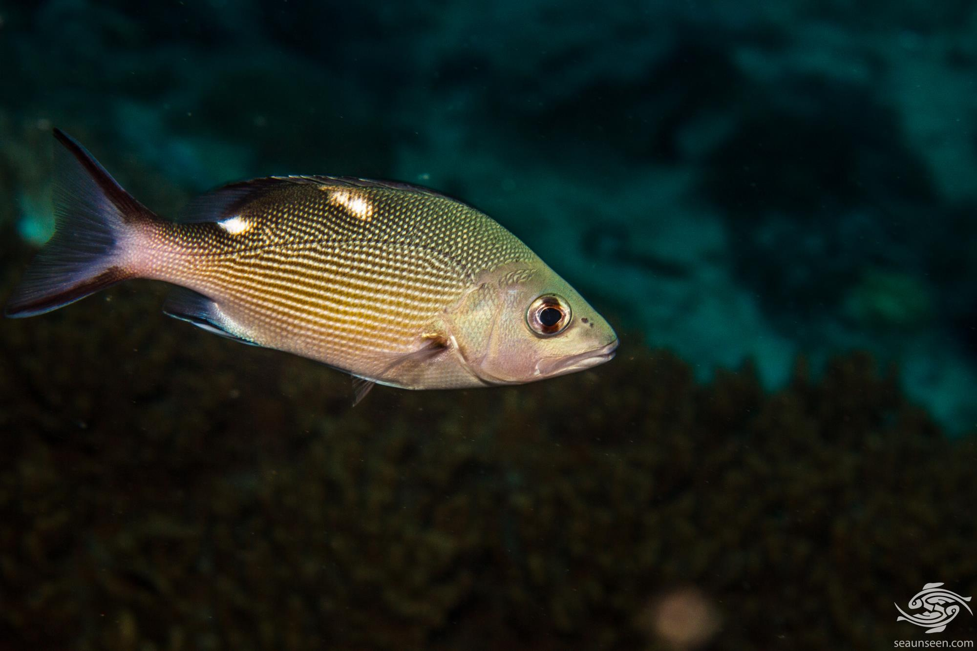 Two-spot Red snapper (Lutjanus bohar) is also known as the Twinspot Snapper and the Bohar Snapper