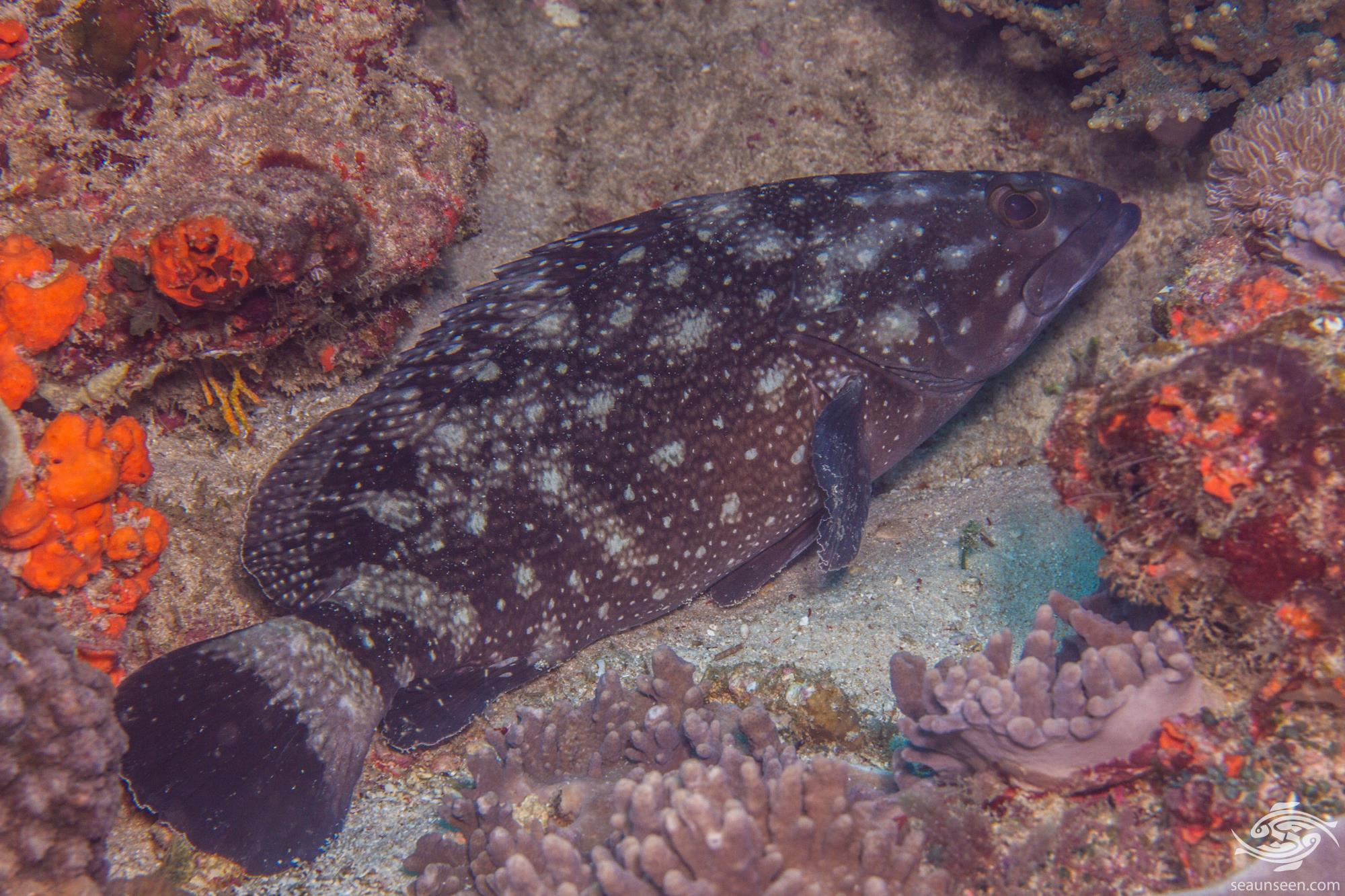 Whitespotted grouper (Epinephelus coeruleopunctatus) is also known as the White Spotted Rockcod