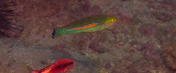 Smalltail Wrasse (Pseudojuloides cerasinus) is also known as the Smalltail Pencil Wrasse