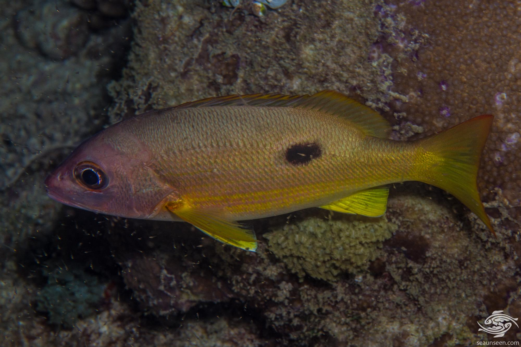 Dory Snapper (Lutjanus fulviflamma) is also known as the Blackspot Snapper