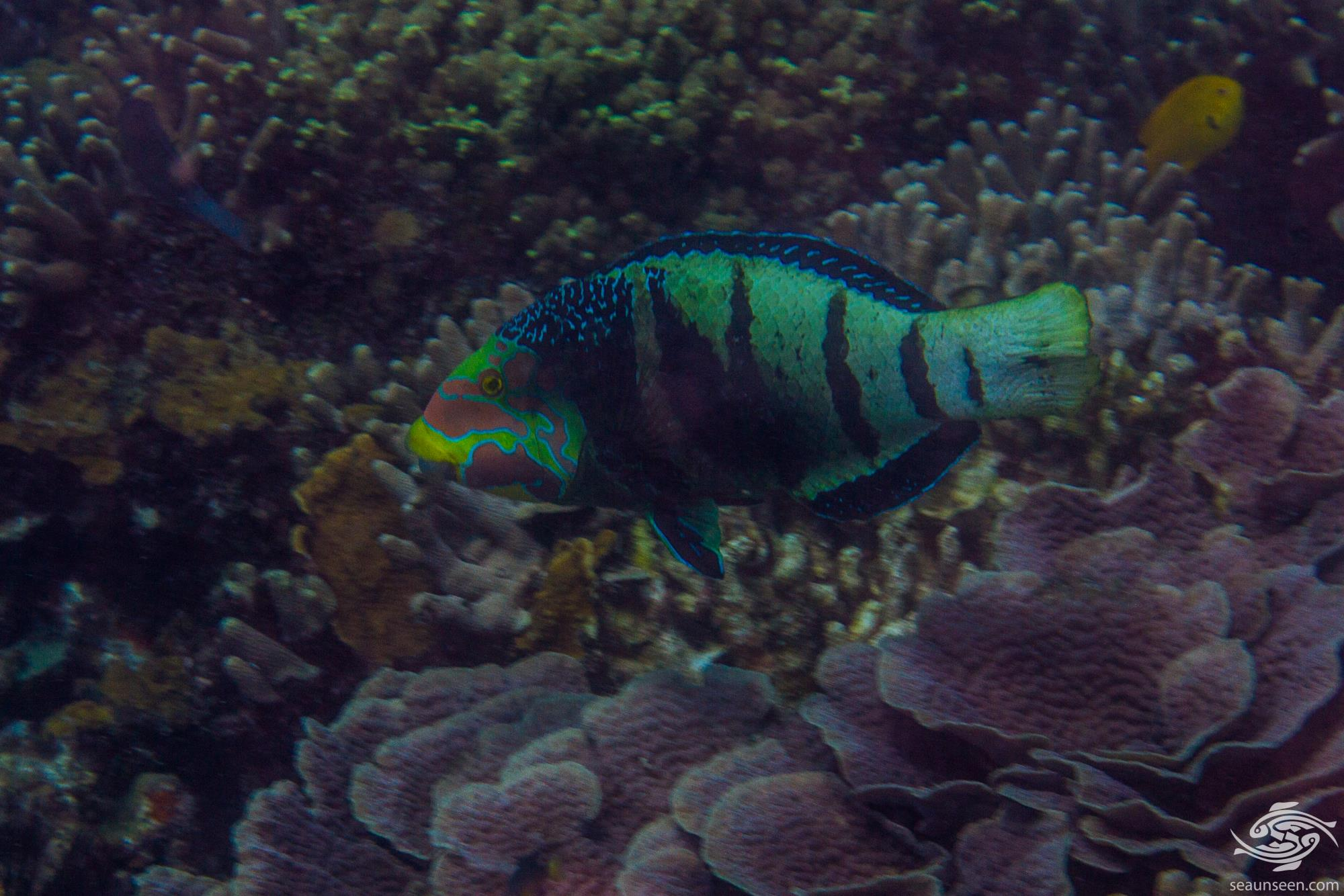 Queen wrasse (Coris Formosa) is also known as the Queen Coris and the Formosa wrasse