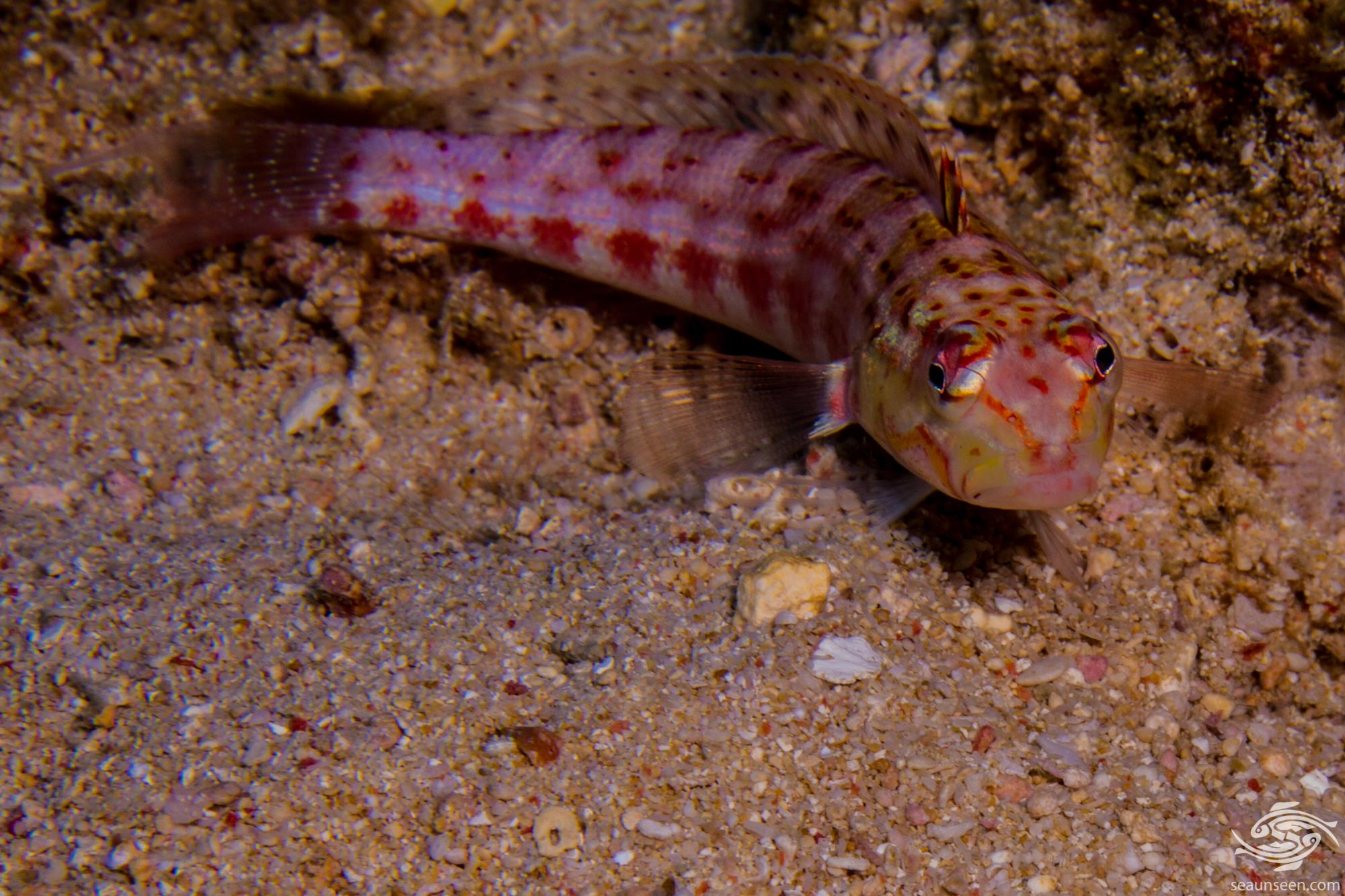 Redspotted sandperch (Parapercis schauinslandii) also known as the Rosy Sandperch