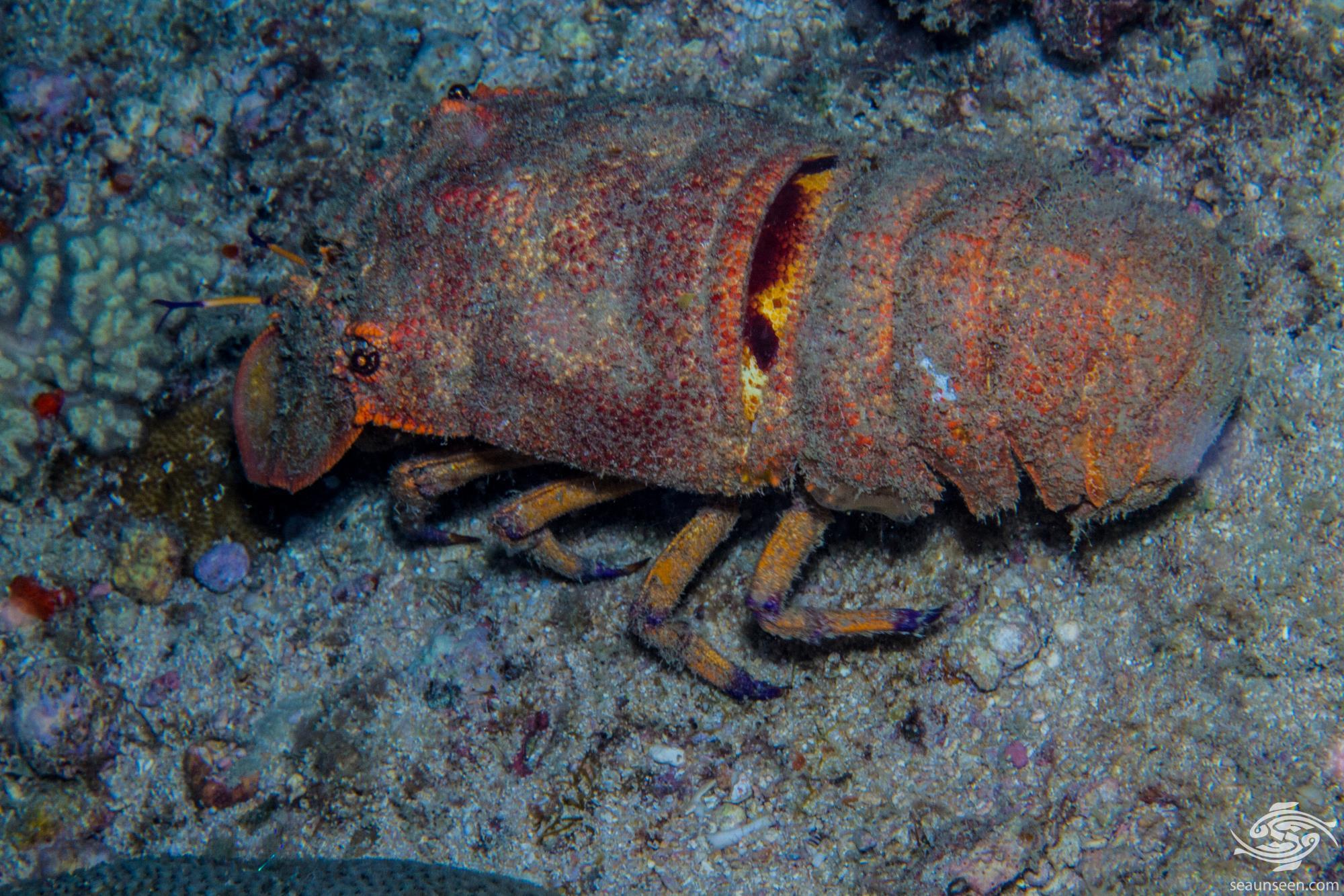 Scyllarides squammosus 2