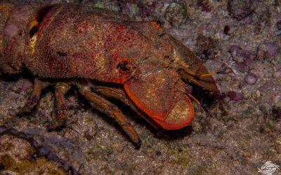 Blunt Slipper Lobster (Scyllarides squammosus)