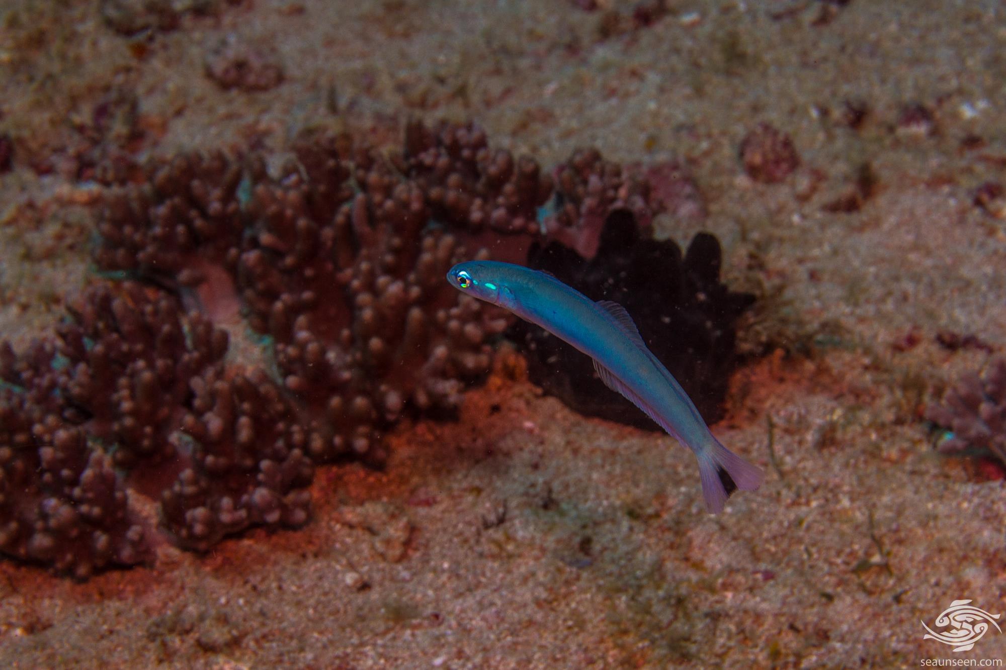 Spot Tail Dartfish, Ptereleotris heteroptera, is also known as the Blacktail Dartfish, Indigo Dartfish and Blacktail Goby.