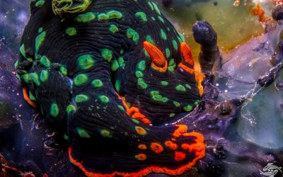 Nembrotha kubaryana, also known as the variable neon slug or the dusky nembrotha