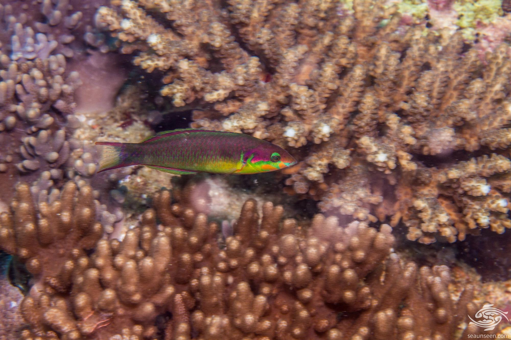 Redcheek Wrasse (Thalassoma genivittatum) is also known as the Dolphin wrasse