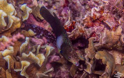 Tubelip wrasse (Labrichthys unilineatus)