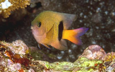 Blackbar Damselfish, Plectroglyphidodon dickii is also known as the Narrowbar Damselfish, the Blackbar Devil and Dicks Devil