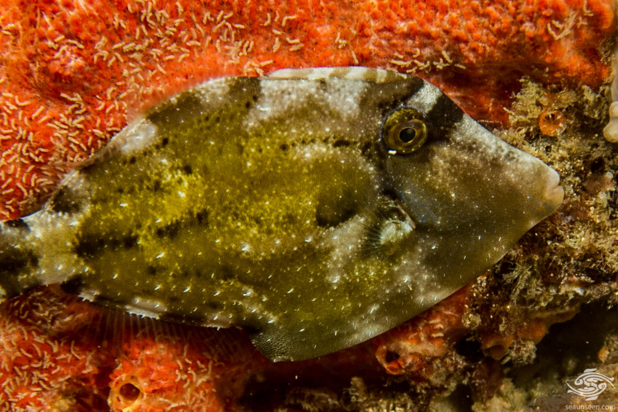 Spectacled Filefish (Cantherhines fronticinctus) is also known as the Spectacled Leatherjacket