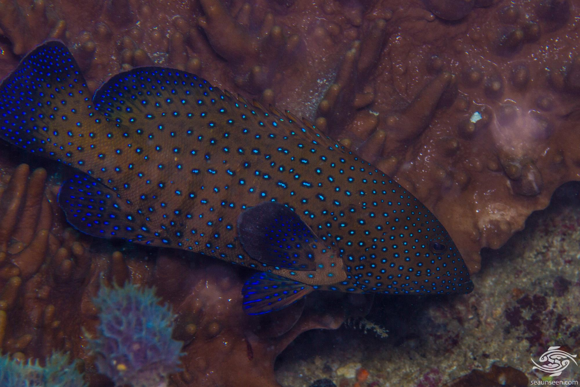 Peacock grouper (Cephalopholis argus) is also known as the Peacock Hind, Peacock Rockcod, the Bluespotted Grouper and the Celestial Grouper