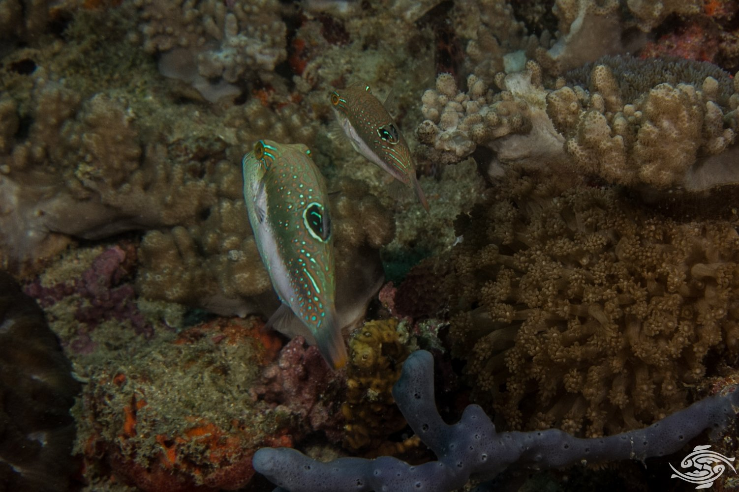 Canthigaster bennetti 1