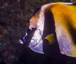 Masked Bannerfish (Heniochus monoceros) , is also known as the Masked coachman or Unicorn Pennant Coralfish