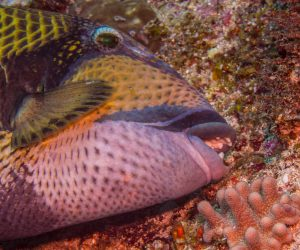 Titan Triggerfish (Balistoides viridescens) is also known as the Giant Triggerfish or Moustache Triggerfish.