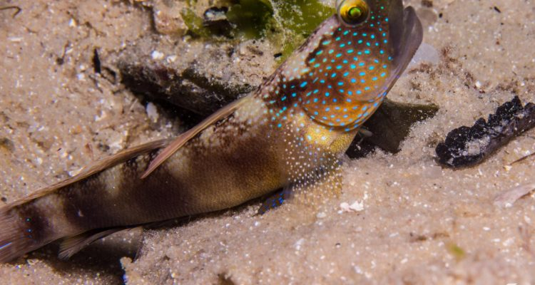 Bluelined Shrimp goby (Cryptocentrus bulbiceps) may be conspecific to Cryptocentrus fasciatus