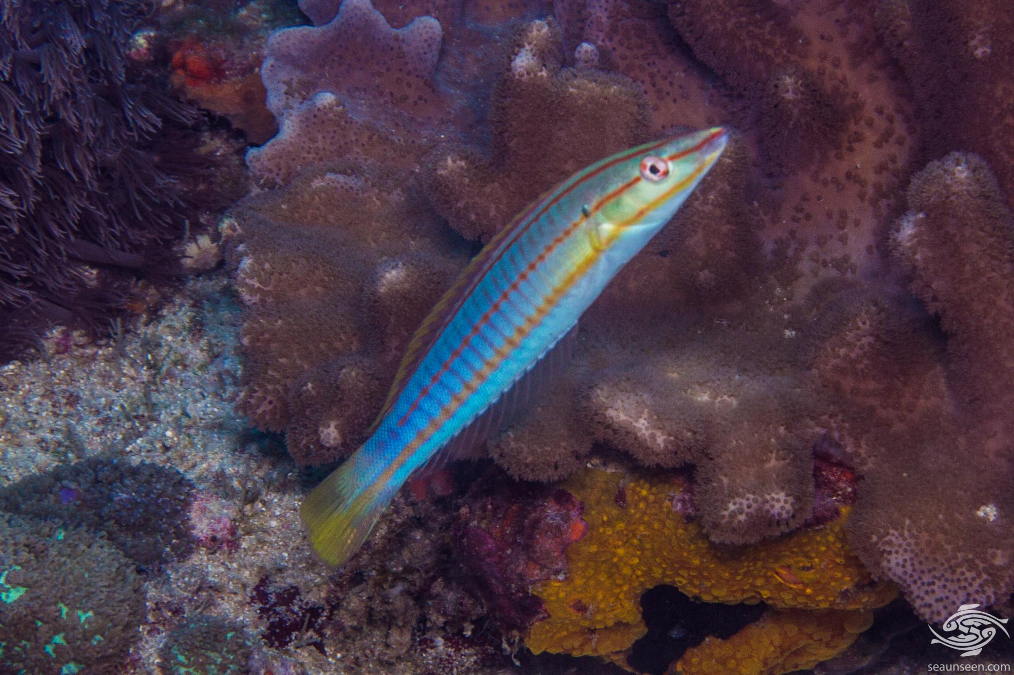 Pastel Ring Wrasse (Hologymnosus doliatus) is also known as the Candy cane wrasse, Longface wrasse, Narrow-banded wrasse, Ringed rainbowfish and simply the Ringed wrasse