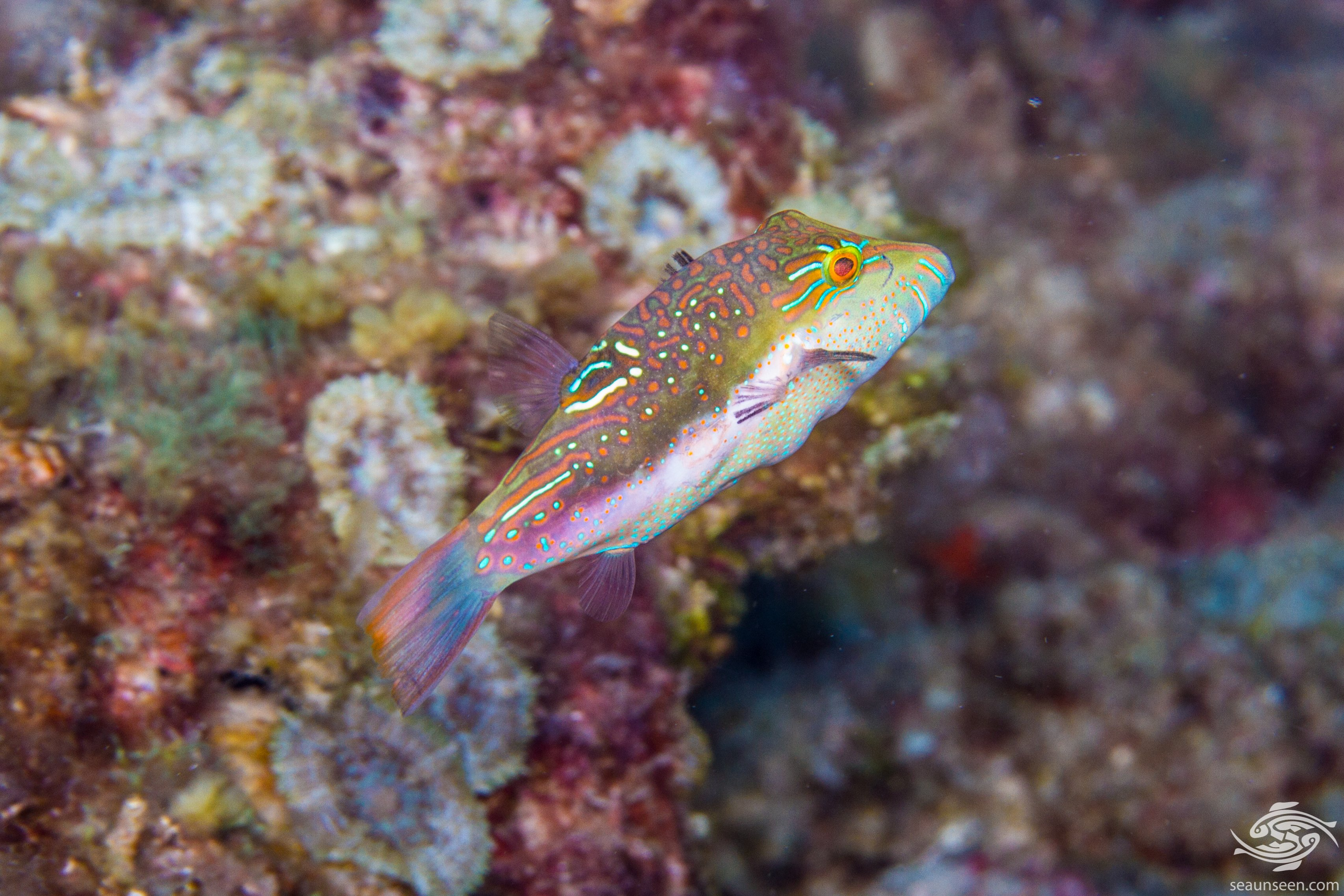 Canthigaster bennetti 3