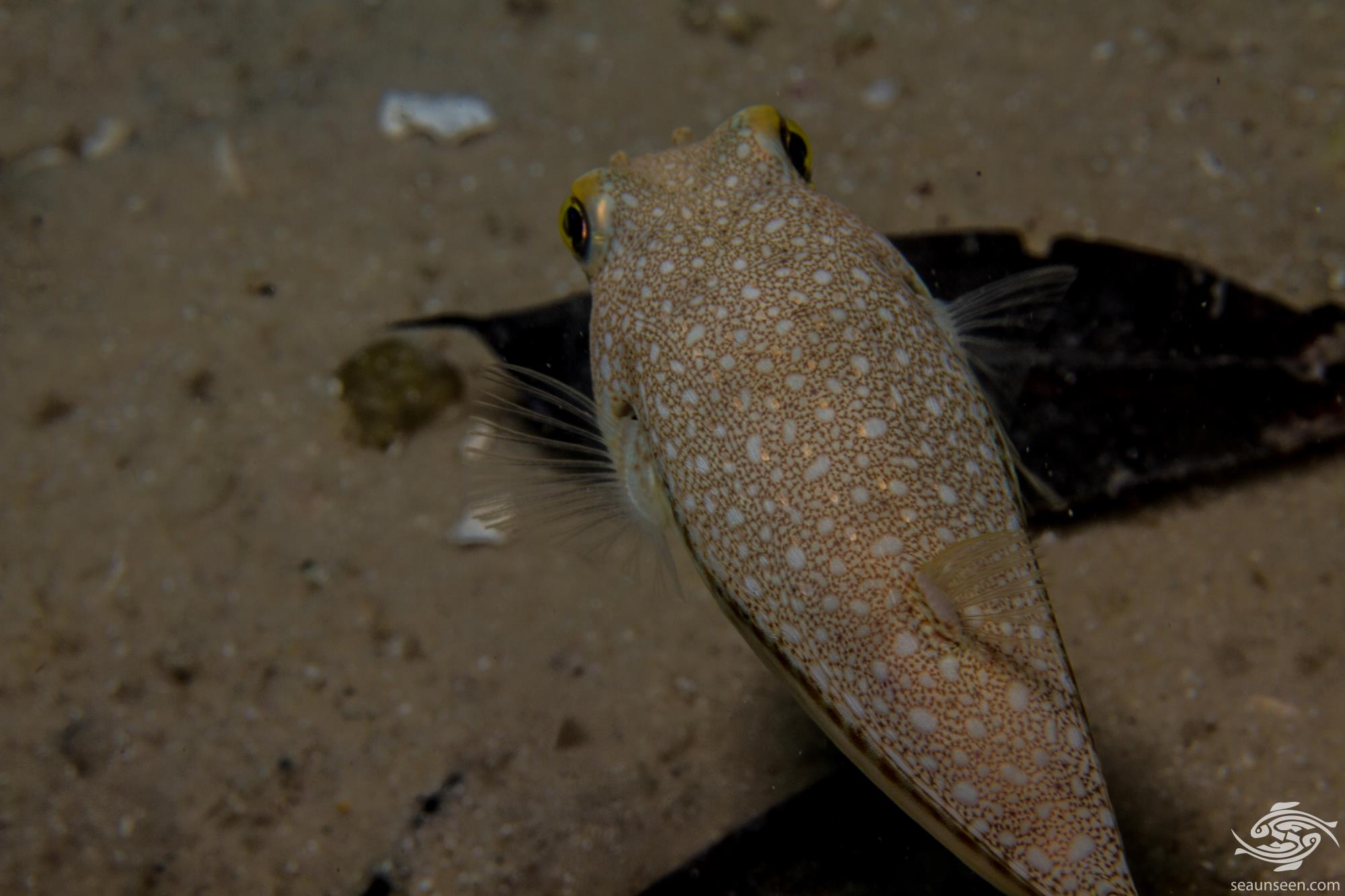 Yellowspotted Pufferfish (Torquigener flavimaculosus) is also known as the Studded Pufferfish