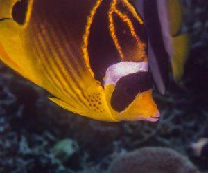 Raccoon butterflyfish (Chaetodon lunula) is also known as the Lunula butterflyfish, Halfmoon butterflyfish and the Crescent-masked Butterflyfish