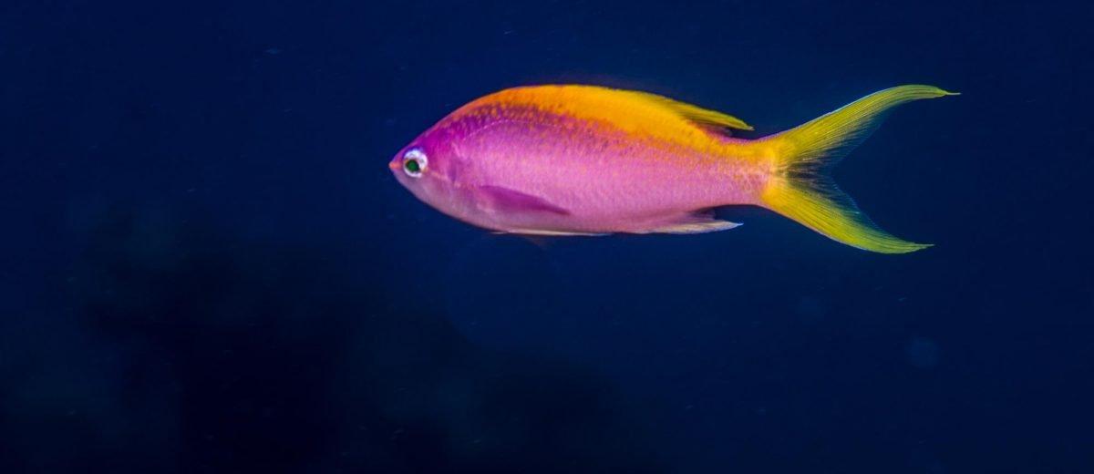the Yellowback Anthias (Pseudanthias evansi)is alsoknown as the Goldback Anthias, Goldback Basslet and Purple Wreckfish.