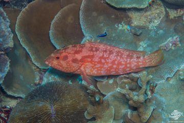 he Strawberry grouper (Cephalopholis spiloparaea) is also known as the Strawberry Hind, Orange Rock Cod and Orange-red Pigmy Grouper
