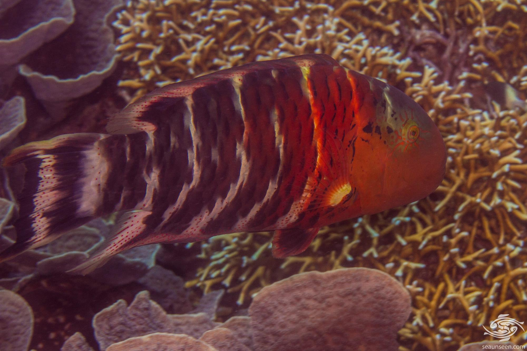 Red-breasted Wrasse (Cheilinus fasciatus) is also known as the Banded maori wrasse, the Red-banded wrasse and the Scarlet-breasted wrasse