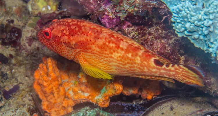 Leopard Grouper (Cephalopholis leopardus) is also known as the Leopard Hind and the Redspotted Rock Cod