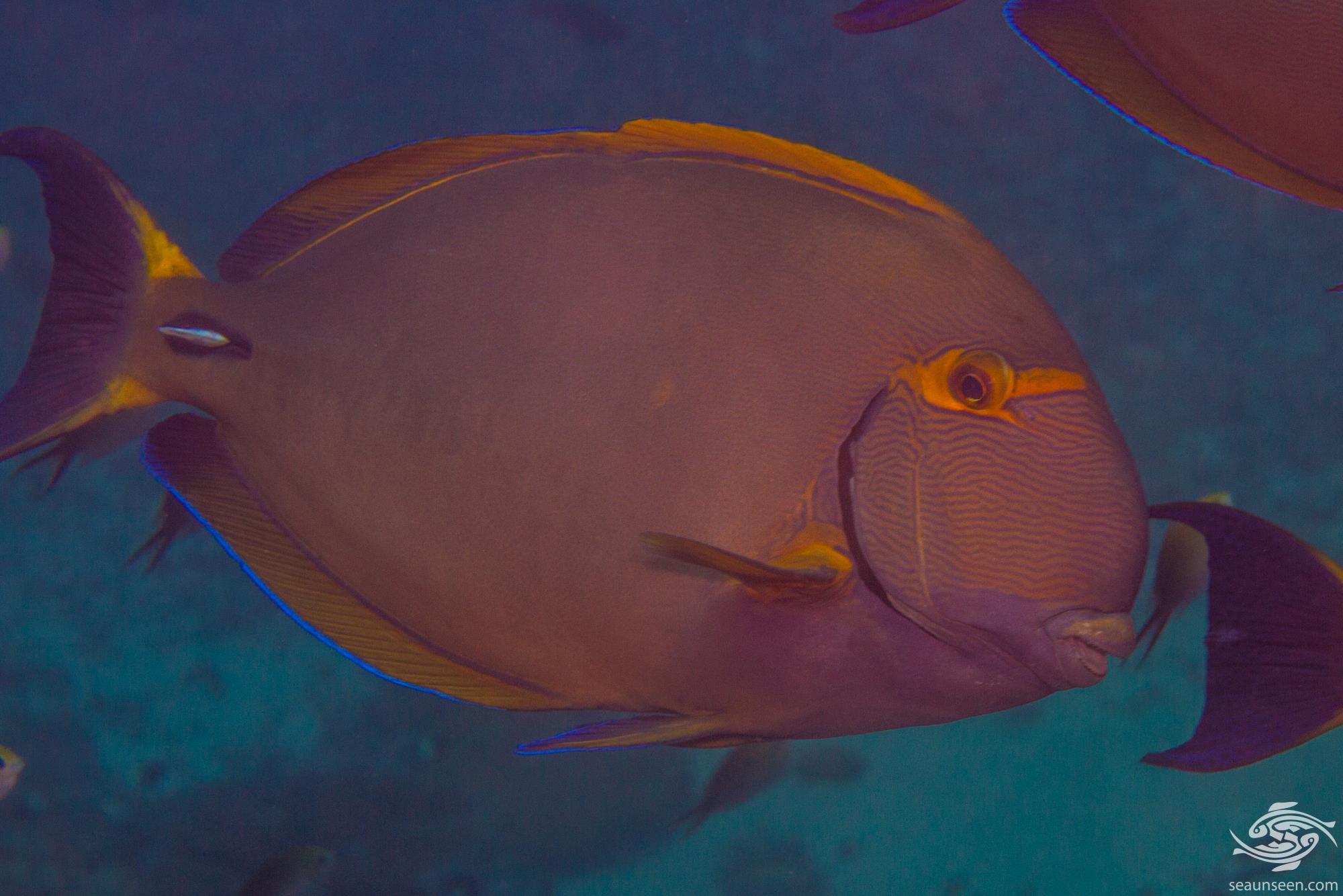 Eyestripe Surgeonfish (Acanthurus dussumieri) is also known as the Pencilled Surgeonfish, Dussumier's Surgeonfish, the Hawaiian Surgeonfish and the Ornate Surgeonfish.
