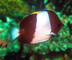 Black Pyramid Butterflyfish (Hemitaurichthys zoster) is also known as the Pyramid Butterflyfish, the Brown-and-White Butterflyfish, the Zoster Butterflyfish and the Brushtooth Butterflyfish