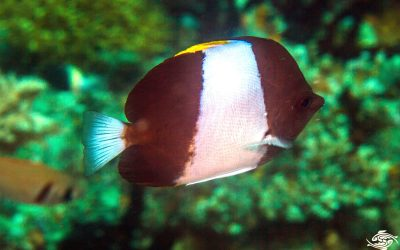 Black Pyramid Butterflyfish (Hemitaurichthys zoster) is also known as the Pyramid Butterflyfish, the Brown-and-White Butterflyfish, the Zoster Butterflyfish and the Brushtooth Butterflyfish