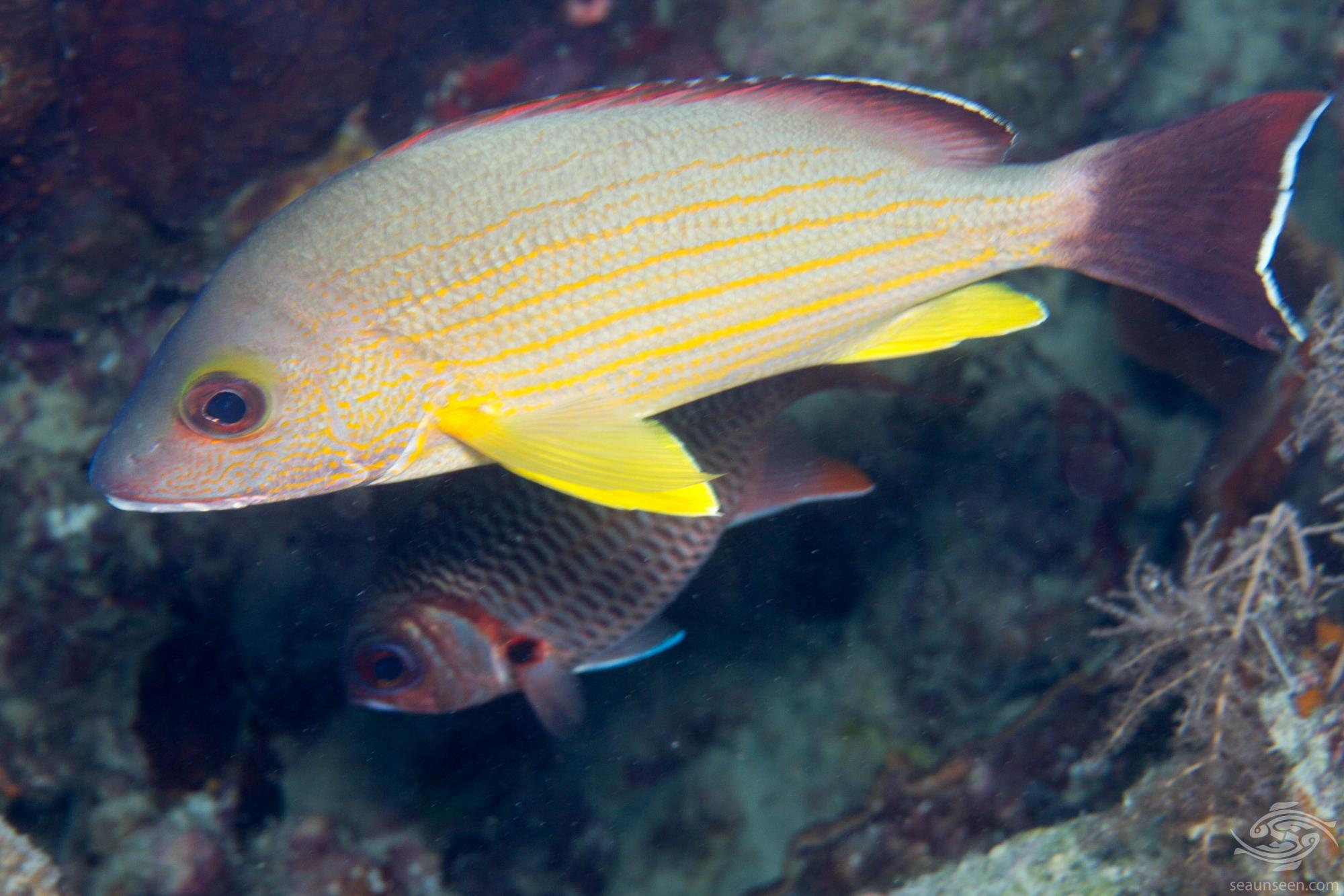 Blacktail Snapper (Lutjanus fulvus) is also known as the Flametail Snapper, Redmargined Seaperch, Taiva, Waigeu Snapper and Yellowmargined Sea Perch.