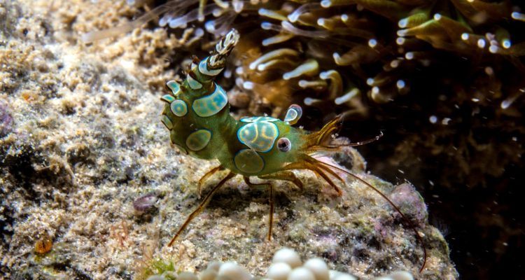 Squat Shrimp (Thor amboinensis) is also known as the Sexy Shrimp