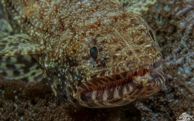 Graceful lizardfish (Saurida gracilis) also called the Blotchy lizardfish and Slender Lizardfish