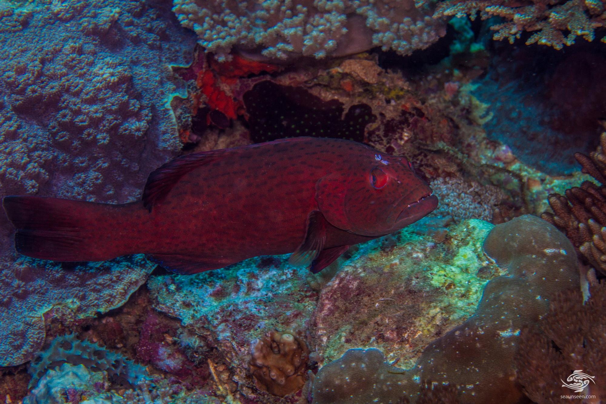 Marbled Leopard Grouper (Plectropomus punctatus) is also known as the Marbled Coral Grouper and the Marbled Leopard Rockcod