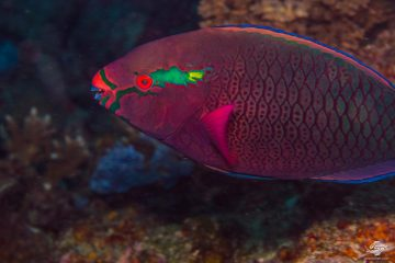 Swarthy Parrotfish (Scarus niger) is also known as the Dusky Parrotfish and the Black Parrotfish