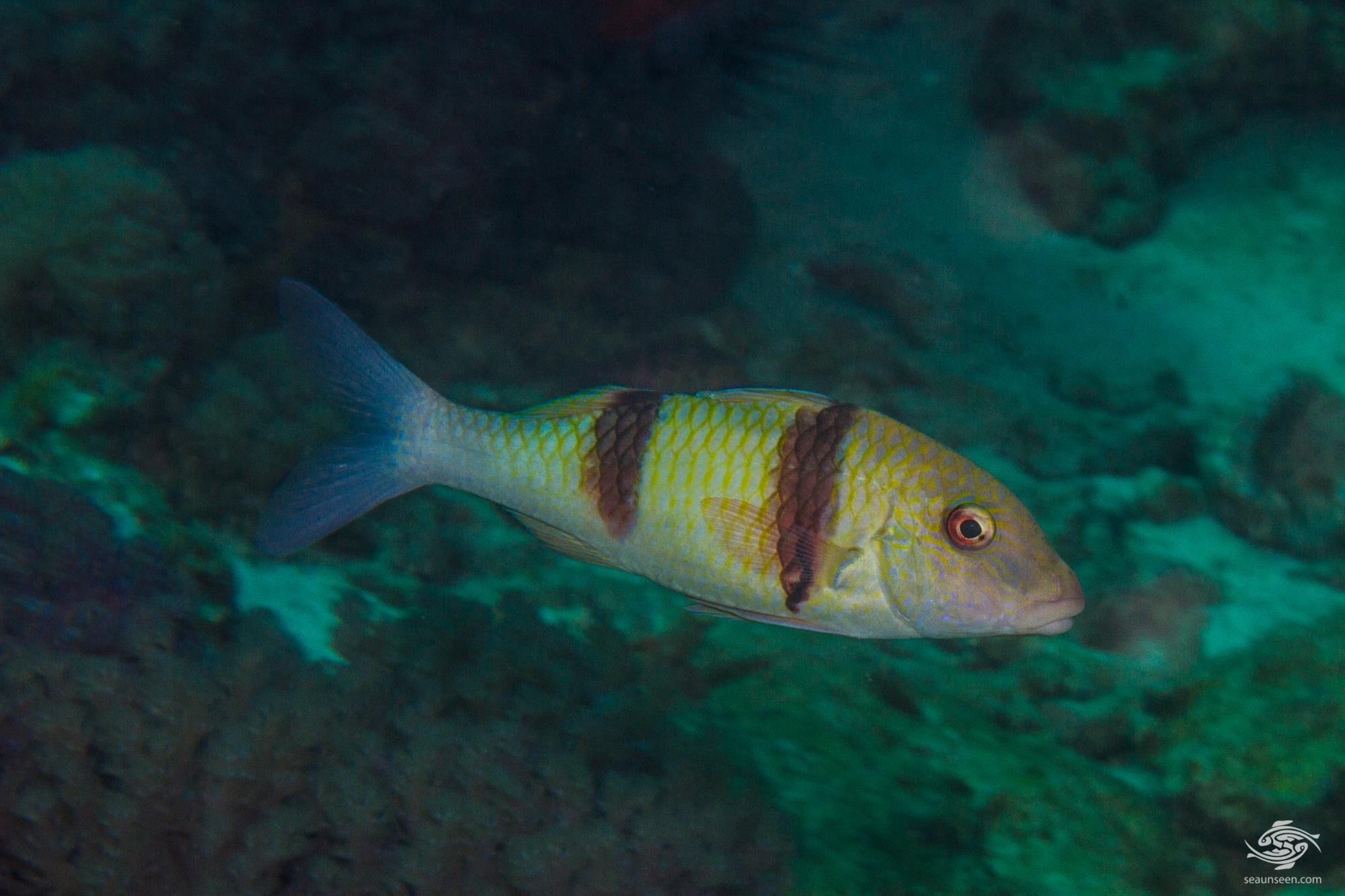 (Parupeneus trifasciatus) 1