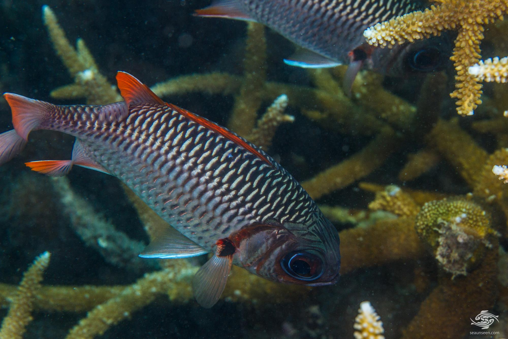 Lattice Soldierfish (Myripristis violacea) is also known as the Violet Soldierfish , Orangefin Soldierfish and the Scarlet Soldierfish.