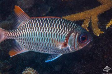 Lattice Soldierfish (Myripristis violacea) is also known as the Violet Soldierfish , Orangefin Soldierfish and the Scarlet Soldierfish.