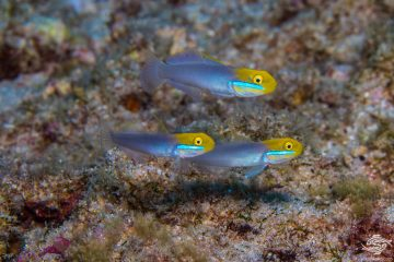 Bluestreak Goby (Valenciennea strigata) is also known as the Pennant Glider, Blueband Goby, Blueband Glider Goby and the Golden-head sleeper goby