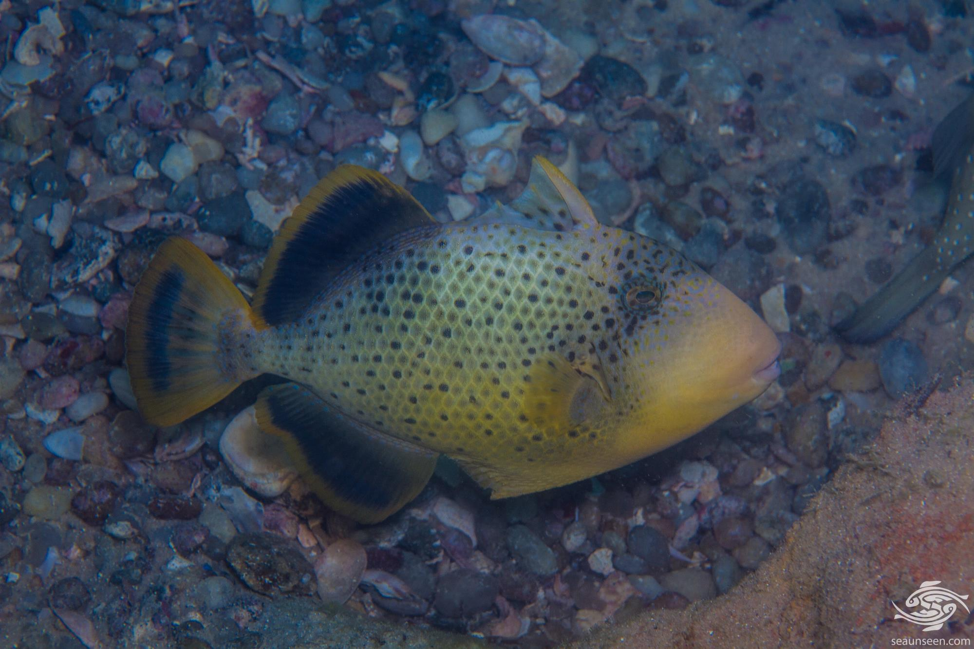 Yellow Margin Triggerfish (Pseudobalistes flavimarginatus) is also known as the Yellowmargin Trigger,Yellowface Triggerfish and Pineapple Triggerfish