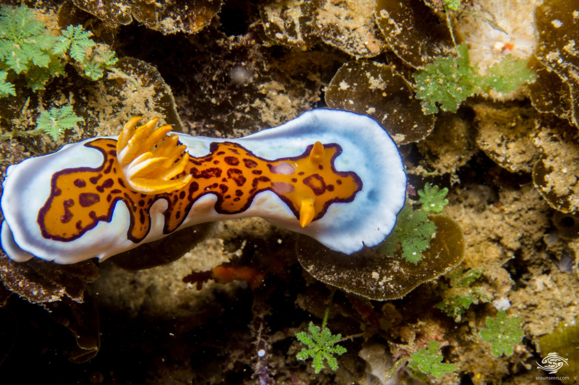 oniobranchus gleniei, previously known as Chromodoris gleniei